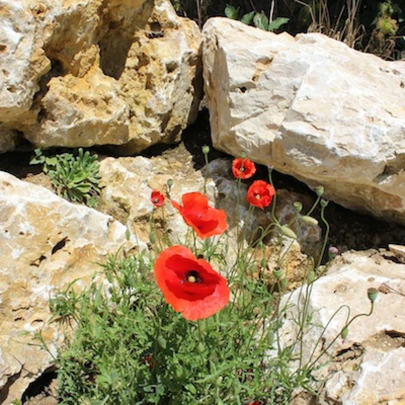 Felsen und Mohnblumen